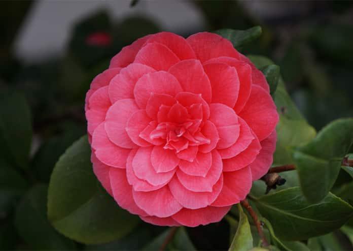 Camellia. festival Chiswick