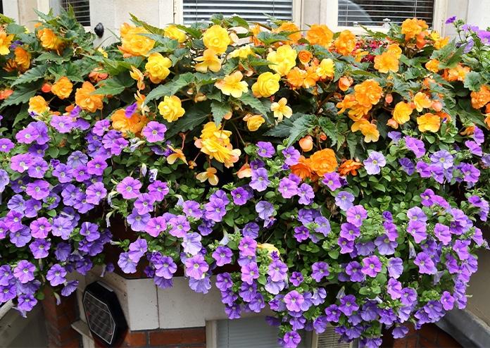 Begonias - best flowers for balconies