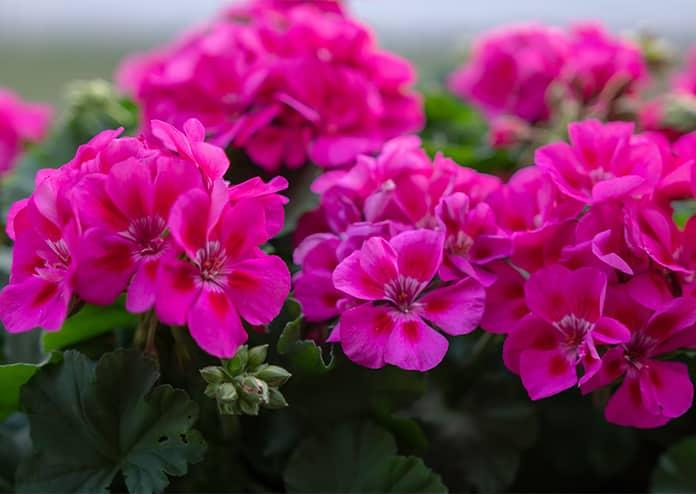 Geraniums - best flowers for balconies