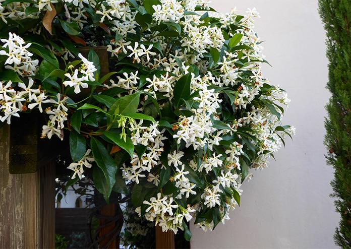 Jasmine - best flowers for balconies