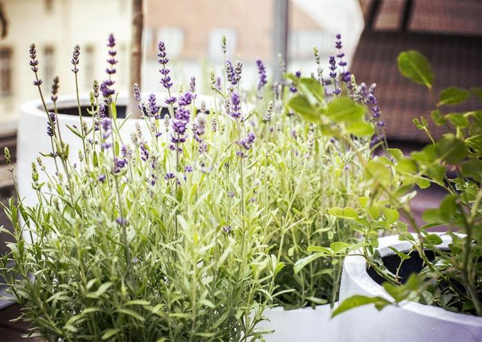 Lavender - Best flowers for balconies in London