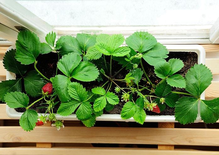 Strawberries - best flowers for balconies