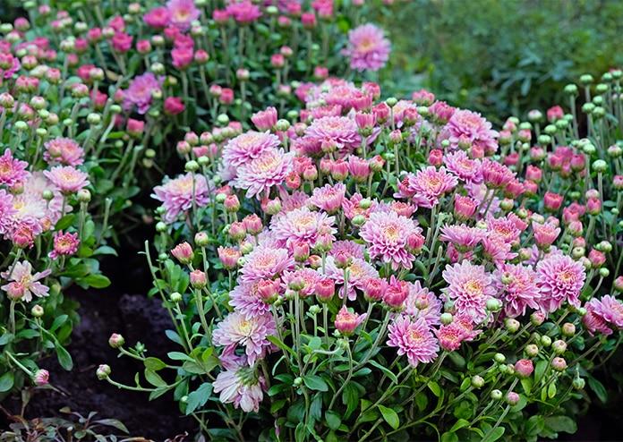 Chrysanthemums - best flowers for balconies